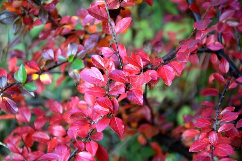 Authumnkleuren, rode bladeren op tak stock foto