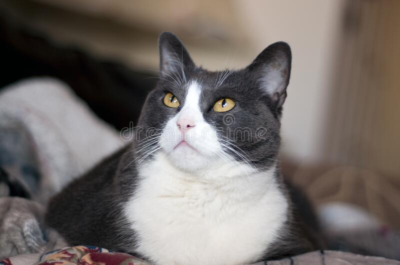 Autiful female grey and white cat with big yellow eyes.looking upword. Autiful female grey and white cat with big yellow eyes royalty free stock image