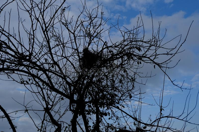 An autimn tree im yhe park with hundreds crows alighted on ite at dusk royalty free stock image
