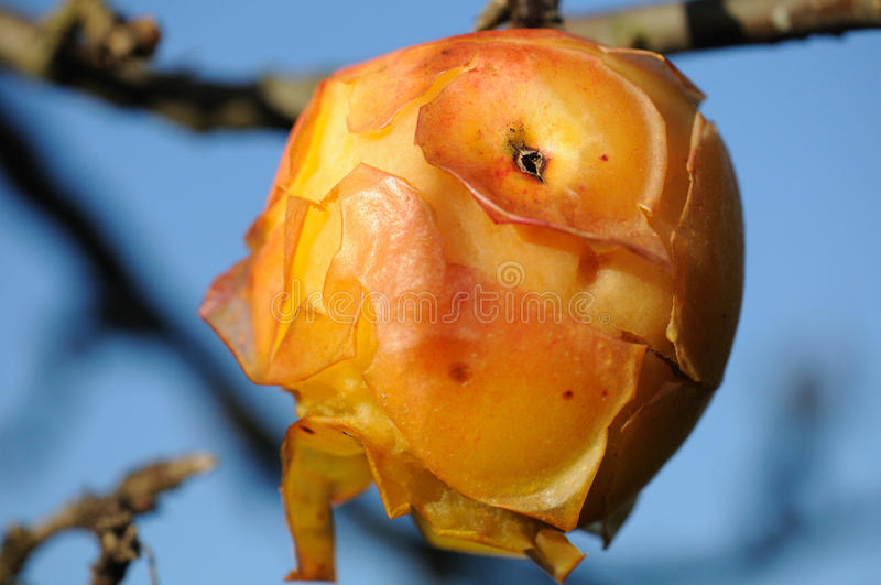 Auto pealed apple in the sun stock photography