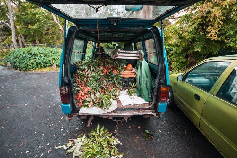 Auto voll von Litschis in Mauritius-Bauernhof lizenzfreies stockbild