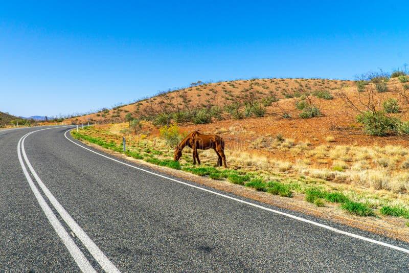 A autoestrada australiana passa pelo meio do Outback e na borda está um cavalo selvagem emaciado foto de stock royalty free