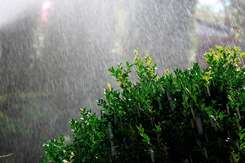 Automatic watering of the garden of a private house in the early morning, boxwood Bush in the foreground royalty free stock photo