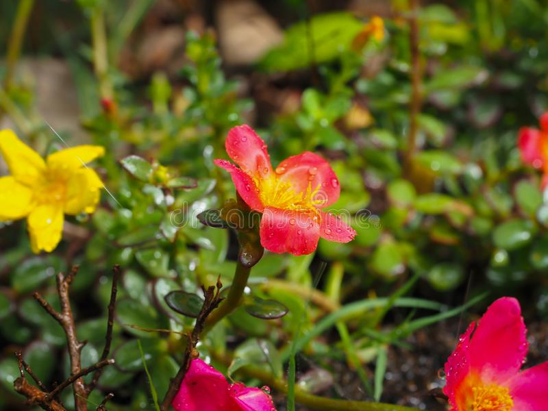 Automatic watering system makes beautiful flowers. Summer, irrigation, green, spray, technology, field, gardening, irrigate, grass, sprinkler, nature, wet royalty free stock photo