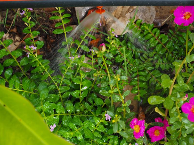 Automatic watering system makes beautiful flowers. Summer, irrigation, green, spray, technology, field, gardening, irrigate, grass, sprinkler, nature, wet royalty free stock photography