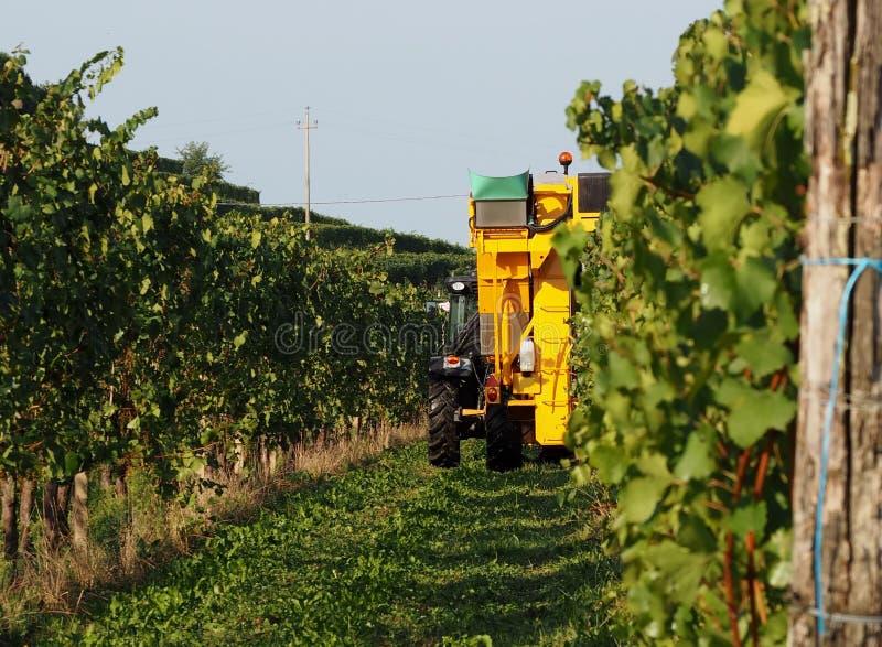 Automatisierte Traubenerntemaschinenmaschine bei der Arbeit unter den Weinbergen ein September-Morgen lizenzfreies stockfoto