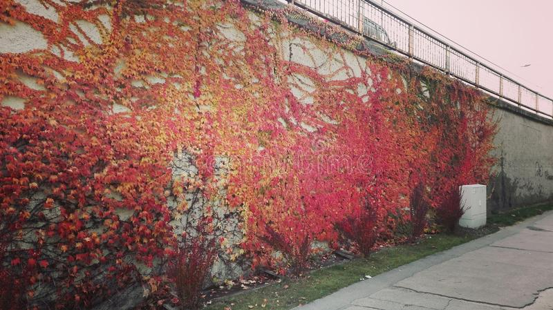 automn leaves on the wall stock image