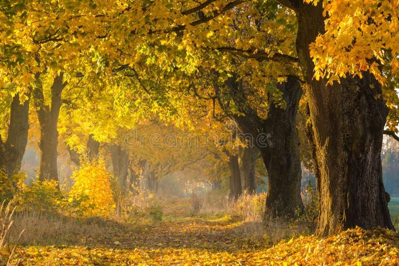 Automne Allée d'érable de forêt de chute Nature d'automne images stock