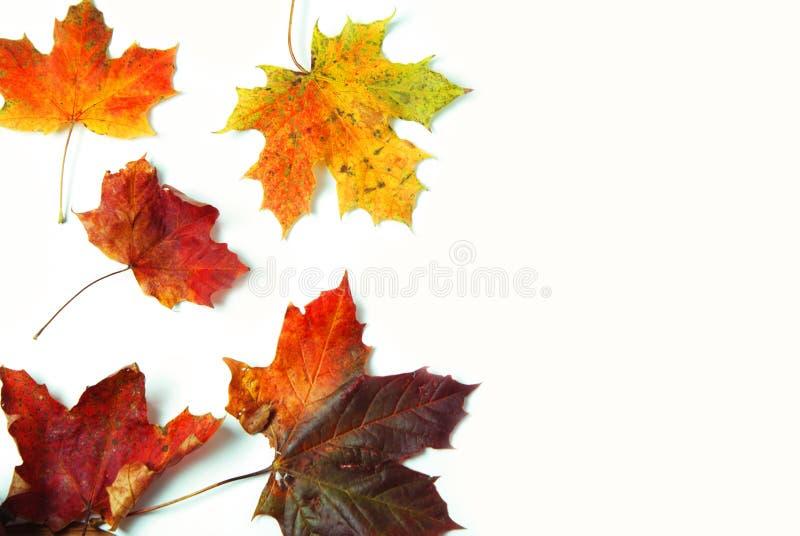 Automne coloré orange et feuille d'érable naturelle rouge d'isolement sur le fond blanc Copiez l'espace photographie stock