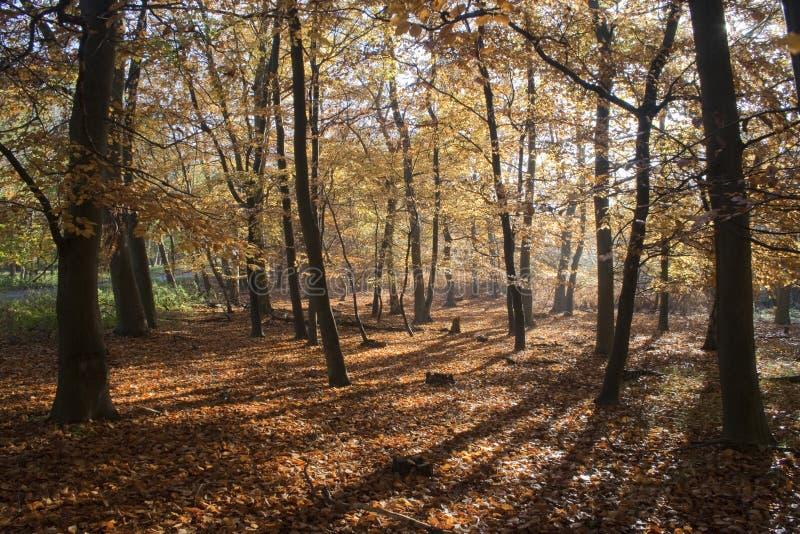 Automne dans la forêt de Tunstall, Suffolk, Angleterre photos libres de droits
