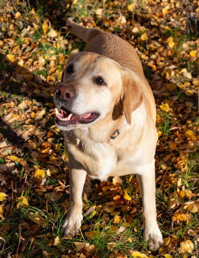 Automne de lame d'automne Labrador photo libre de droits