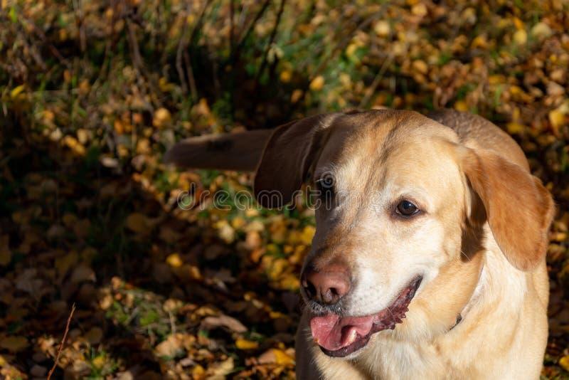 Automne de lame d'automne Labrador photographie stock libre de droits