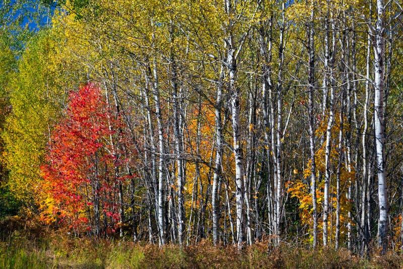 Automne du nord en bois photo libre de droits