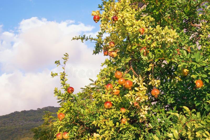 Automne ensoleillé Punica granatum d'arbre de grenade avec les fruits mûrs photo libre de droits
