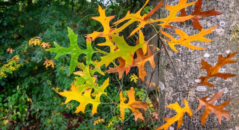 Automne : feuilles de vert obtenant la couleur jaune image libre de droits