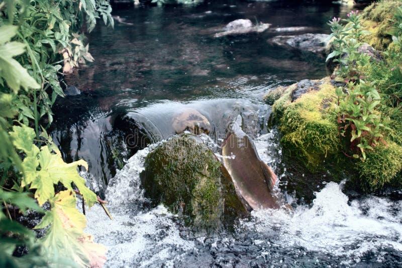 Automne sur le frai des rivières (frai couru) photo stock