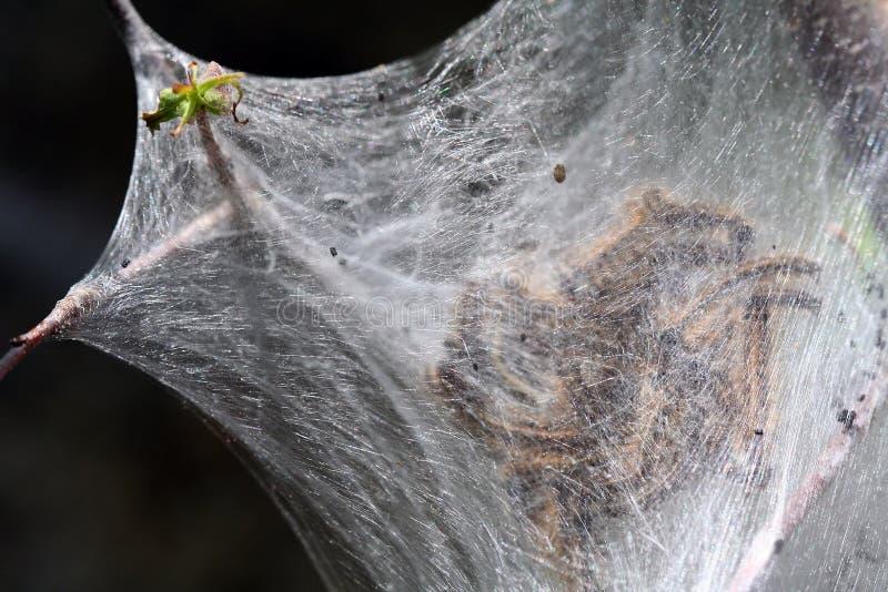 Automne Webworms - cunea de Hyphantria image libre de droits