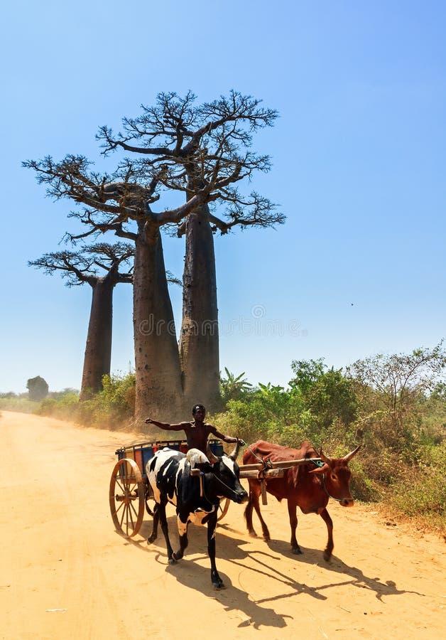 Automobile dello zebù del baobab fotografia stock