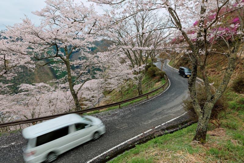 Automobili che viaggiano su una strada di montagna curvy che finisce la collina degli alberi del fiore di ciliegia di sakura nel  fotografia stock libera da diritti