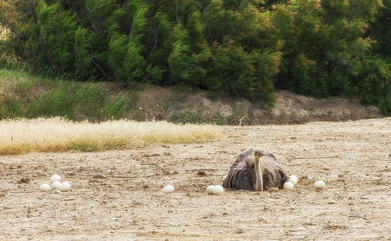 Autruche africaine masculine dans le nid se reposant sur les oeufs jusqu'à ce qu'ils hachent image stock