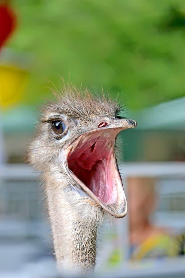 Autruche avec la bouche ouverte, diversité animale, photo stock