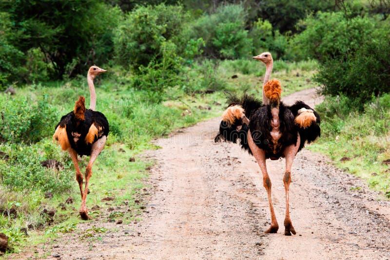 Autruche deux sur la route dans le buisson, Tsavo occidental, Kenya images libres de droits