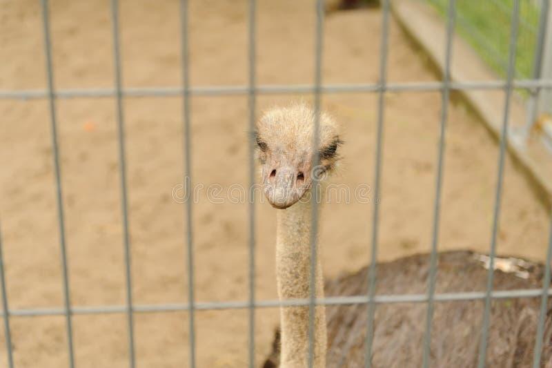 Autruche drôle dans le zoo regardant l'appareil-photo photographie stock libre de droits