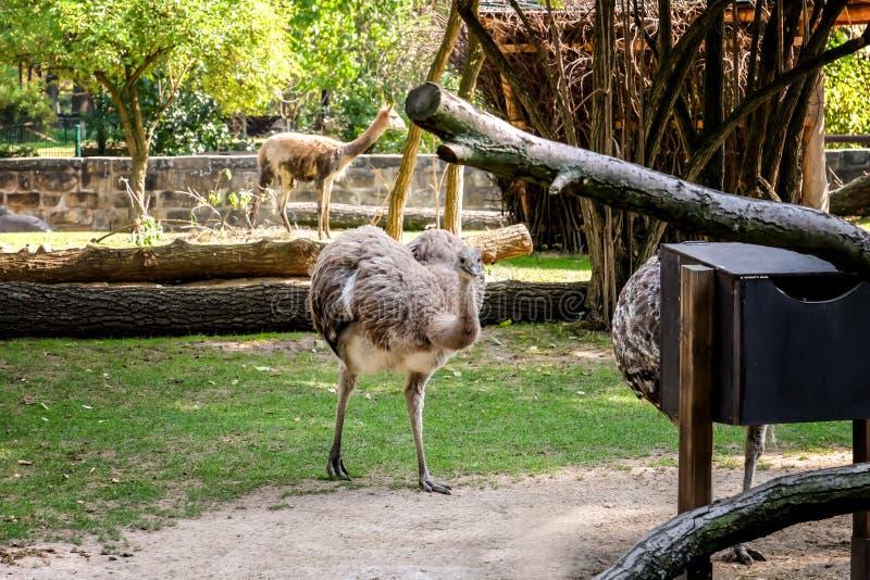 Autruche mignonne de nandu dans le jardin zoologique image libre de droits