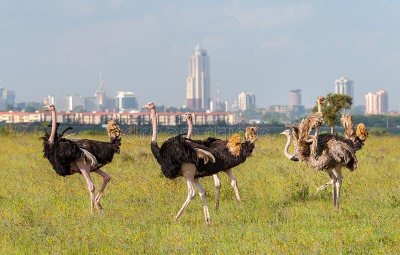 Autruches en parc national de Nairobi image stock