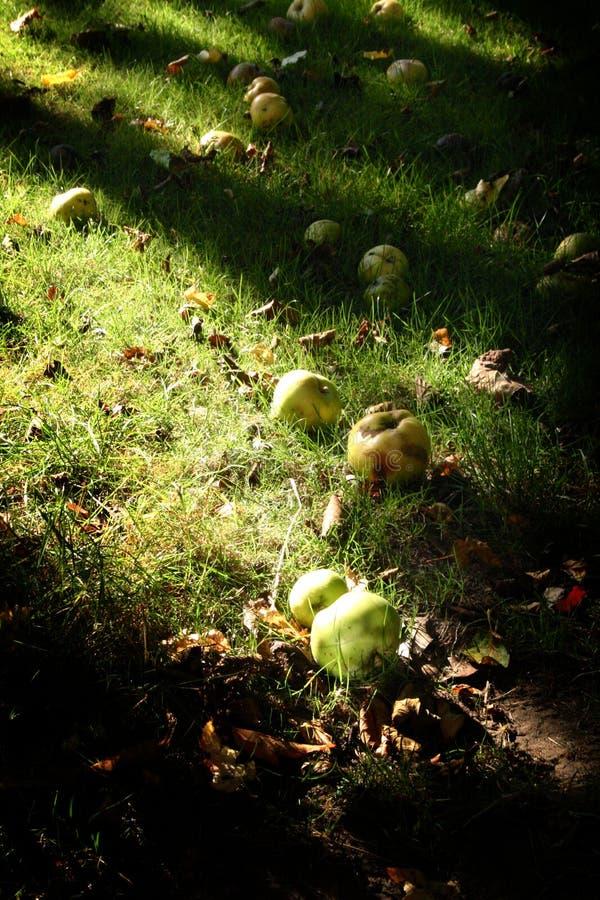 Autum appels in garden. Autum in garden Fallen appels in the autumn grass, dark shadows stock image