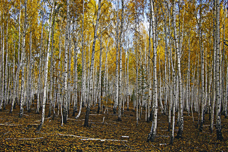 Autum birch forest. royalty free stock photos