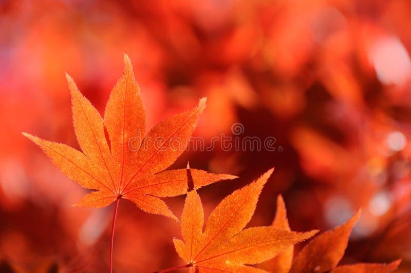 Autum Blatt des japanischen Ahornholzes stockfotografie