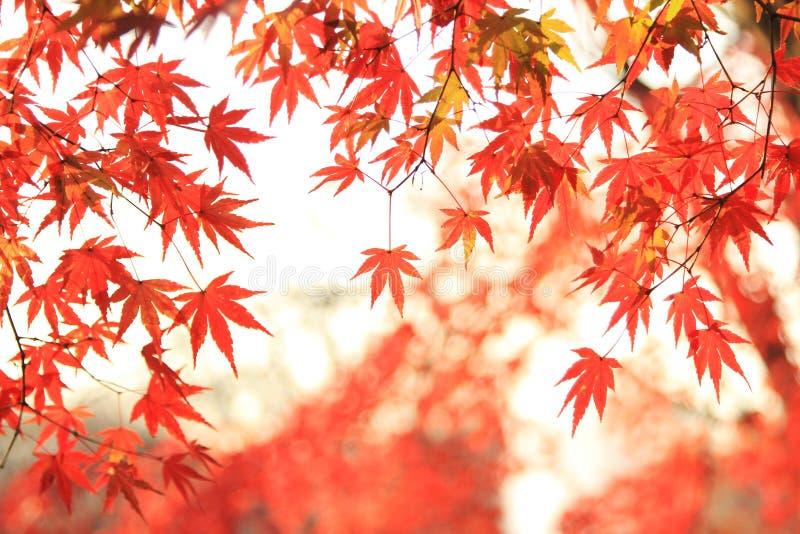 Autum Blatt des japanischen Ahornholzes stockbilder