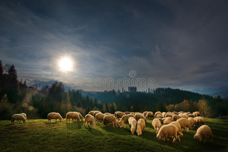 Autum landscape in Bran,Transylvania, Brasov, Romania with sheep eatting grass on the hills. Beautiful Autumn landscape from Transylvania, Bran, Romania in a royalty free stock images