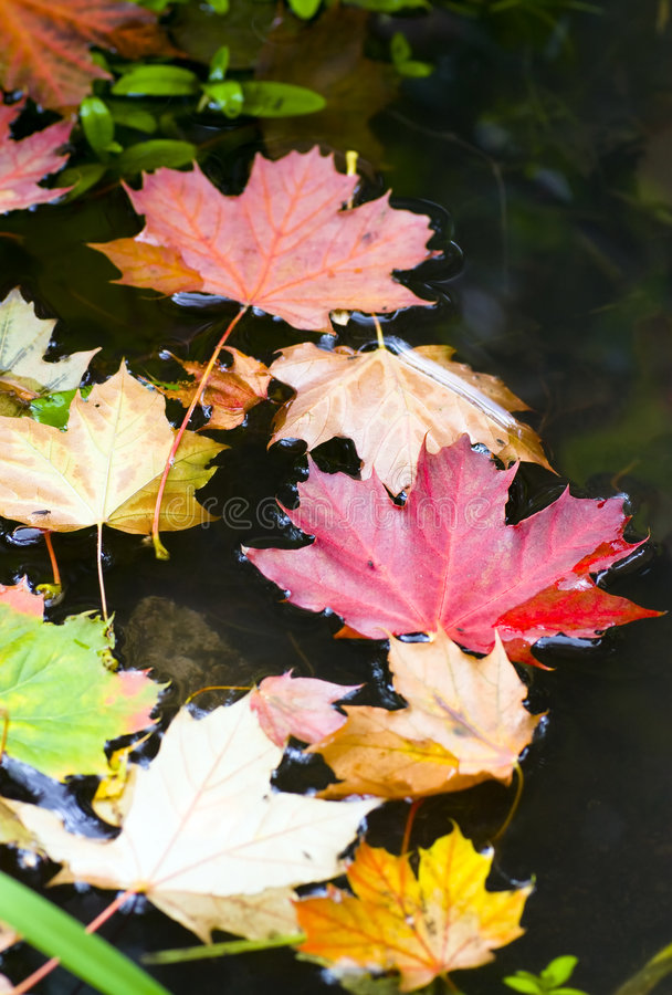 Autum leaves. Colourful autumn leaves swimming on dark water stock photos