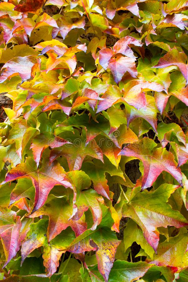 Autum leaves of sucker five finger stock photography