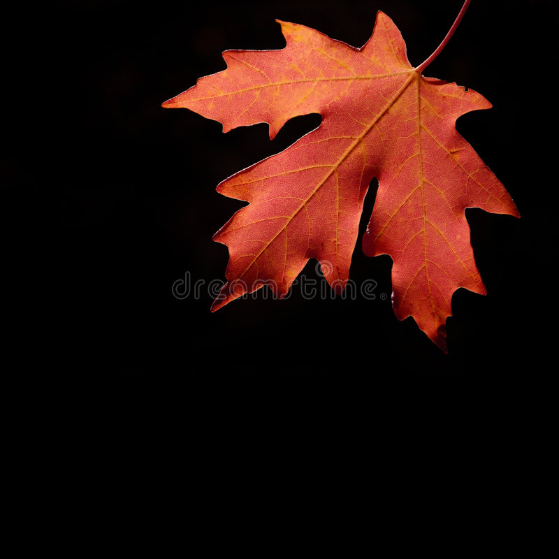 Free Autum Maple Leaf Royalty Free Stock Image - 6593946