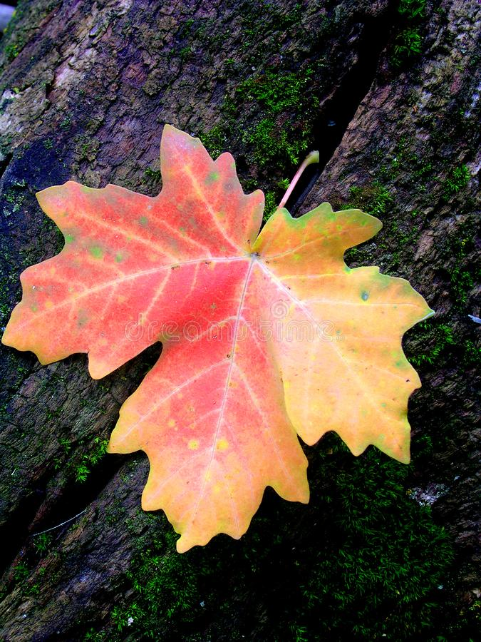Download Autum Maple Leaf stock photo. Image of points, macro, rock - 9402994