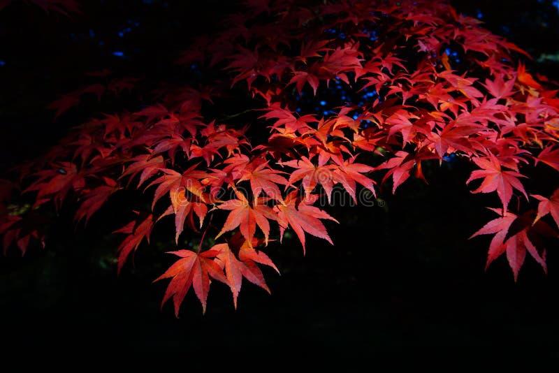 Autum Red leavs. Autum, red, leavs, klon, japan royalty free stock photos