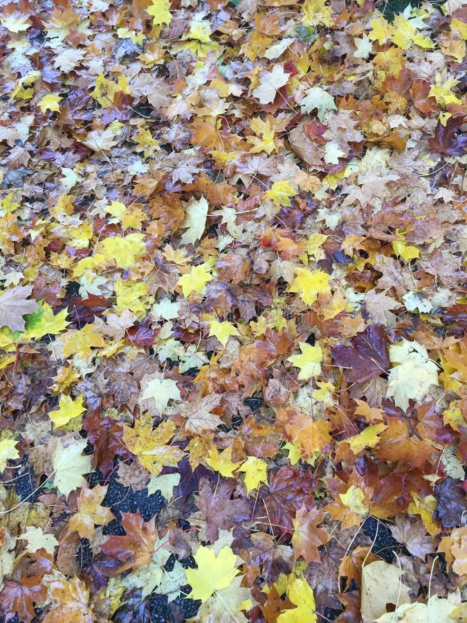 Autum leaves and i love autum. This Autum seasons is my favorate season, not so cold and a lot of different colors of leaves royalty free stock photography