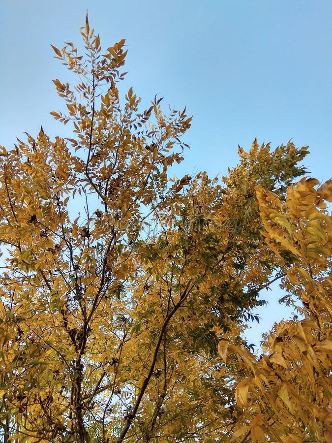 Autum sky. Autum tree with leaves of green yellow orange brown with bright blue sky royalty free stock photo