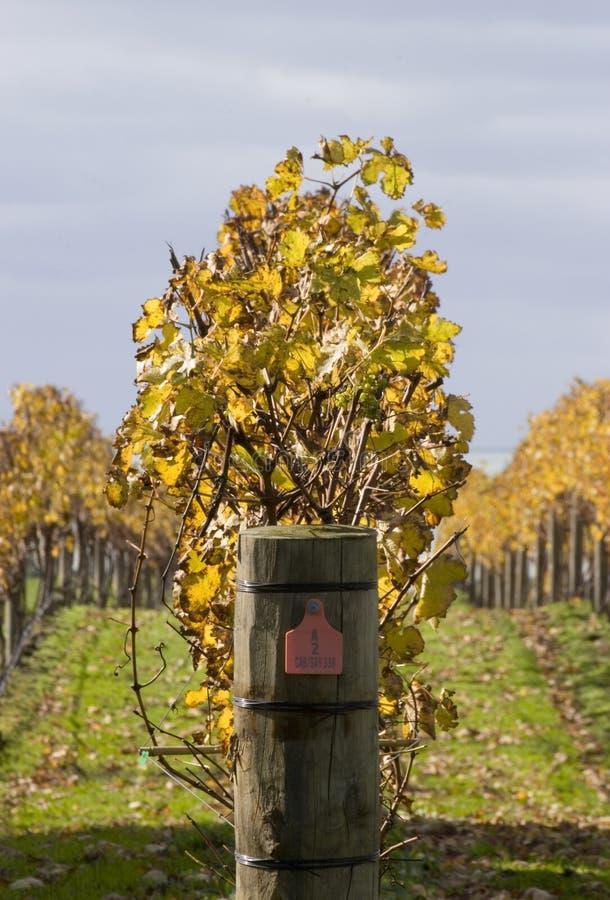 autumn 03 winorośli fotografia royalty free