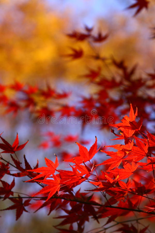 Autumn. Maple leaves turns green in autumn