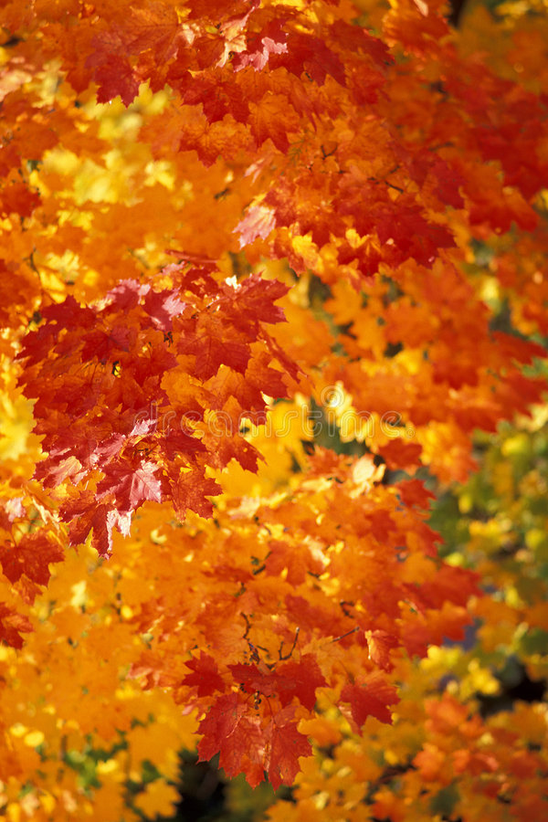 Autumn. Maple tree leaves in autumn royalty free stock image
