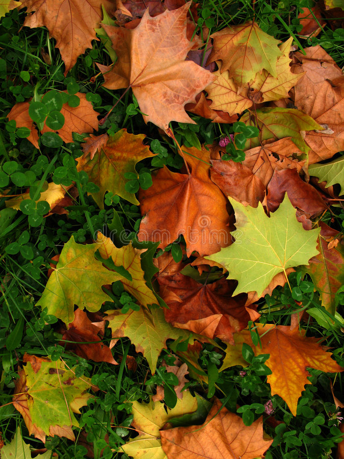 Autumn. Colorful autumn leaves in the forest royalty free stock image