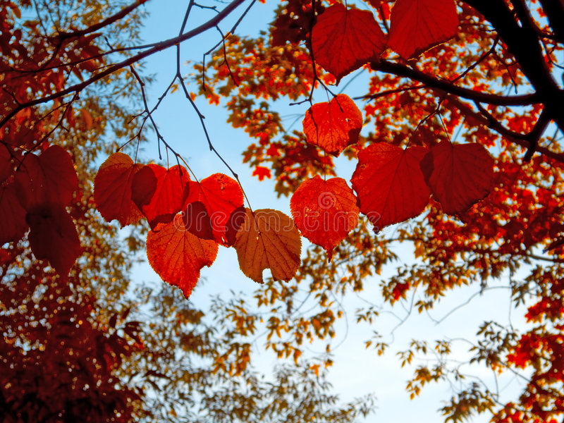 Autumn. Red leaves & crystal blue sky stock photo