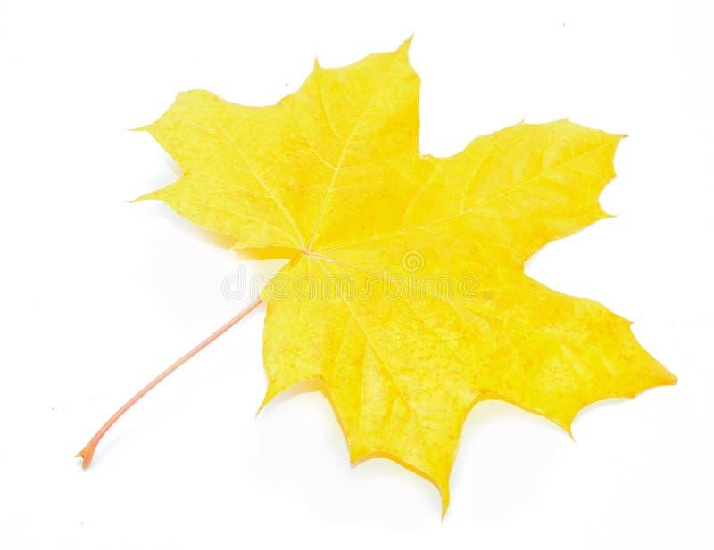 Autumn Acer-pseudoplatanusblad royalty-vrije stock fotografie
