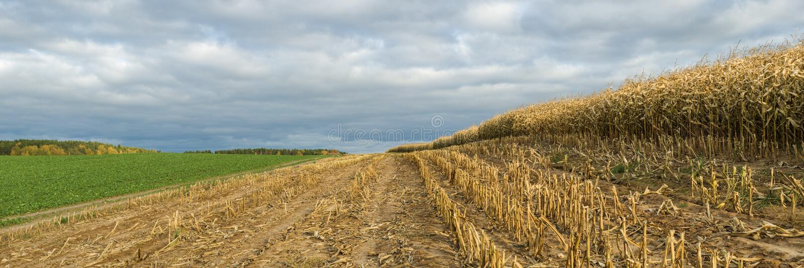 Autumn agricultural landscape. large panoramic view of a ripened cornfield with stubble on the edge of the field under an October stock photos
