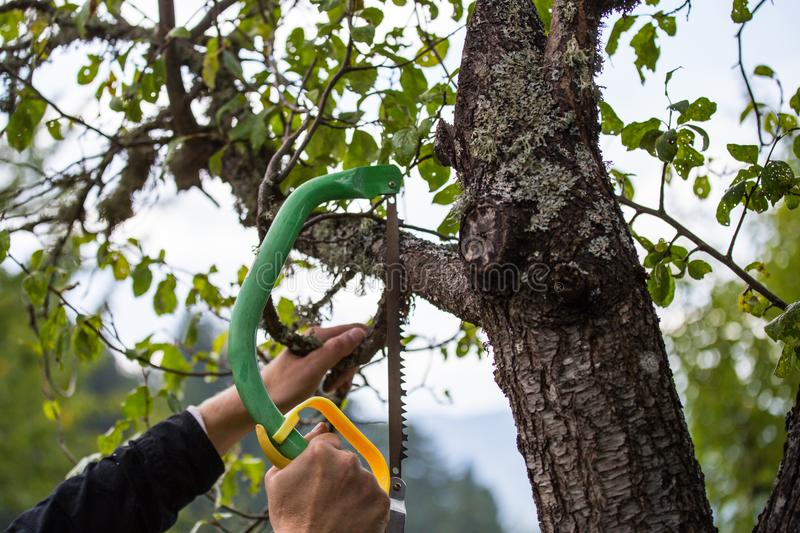 Autumn agricultural works, orchard maintenance, branching on fruit trees, agricultural scissors and small saw blades, cutting bra. Nches stock image