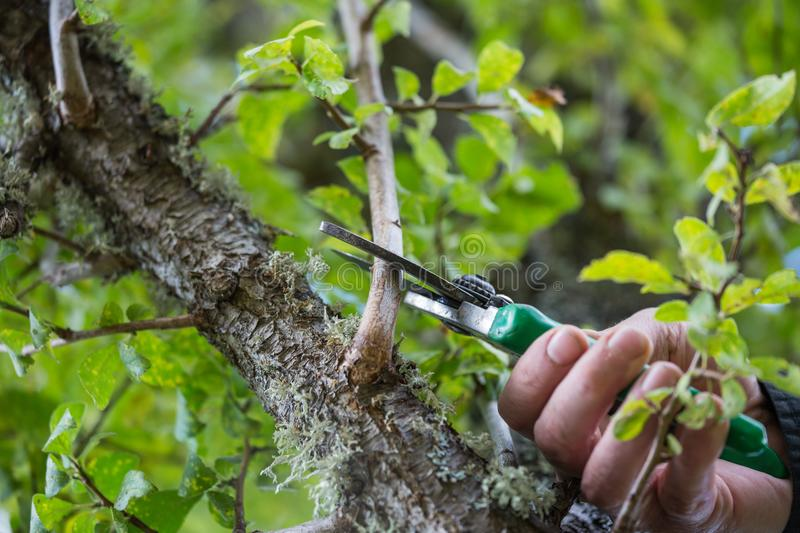 Autumn agricultural works, orchard maintenance, branching on fruit trees, agricultural scissors and small saw blades, cutting bra. Nches royalty free stock images